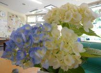 紫陽花を愛でながら
